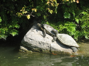 Turtles soaking up some sunshine in Bois de Boulogne