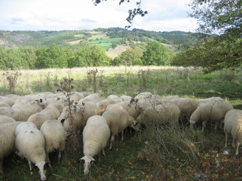 A Flock of Sheep having a Snack in the hills above St-Martin-de-Vers