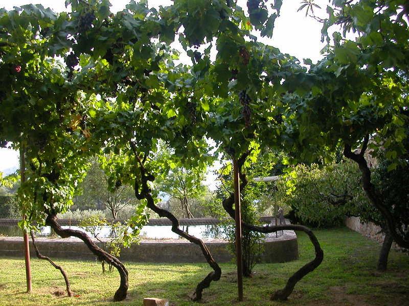Old vines at Domaine Ott