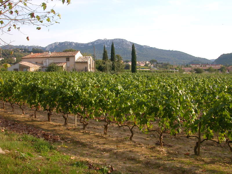 Vineyards at Domaine Tempier